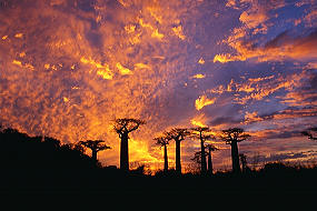 Baobab are a common sight in Madagascar.